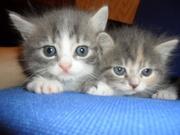 Продам 2 котят - помесь британской короткошерстной и европейской корот