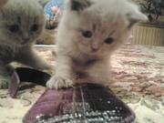 продам британского лилового котенка