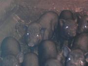 Продам вьетнамских вислобрюхих травоядных поросят,  свинок и хрячков