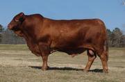 Куплю быков живым весом в Витебской области